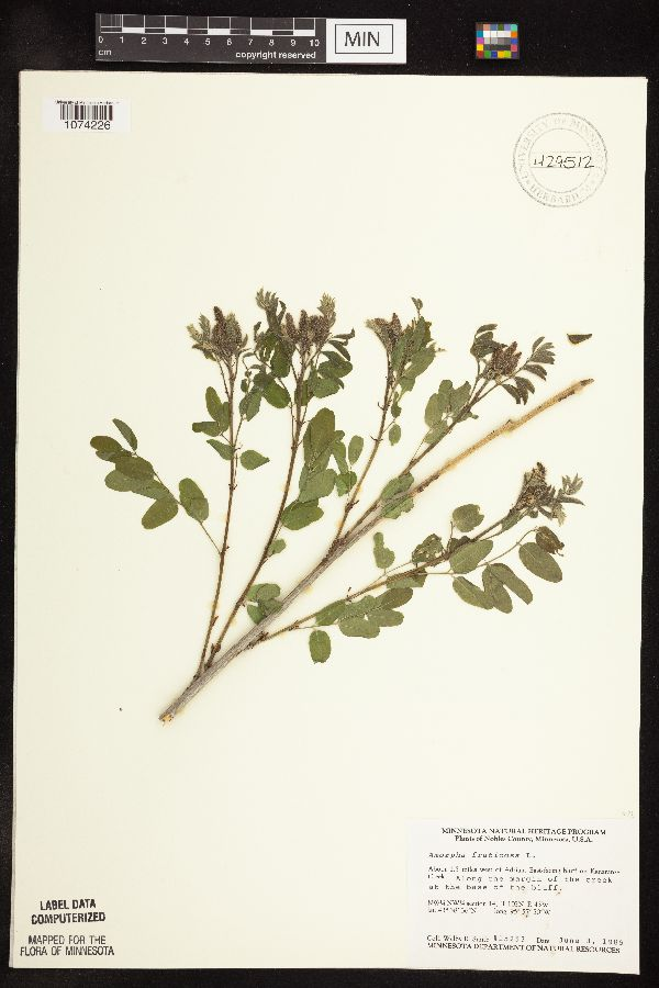 Amorpha image