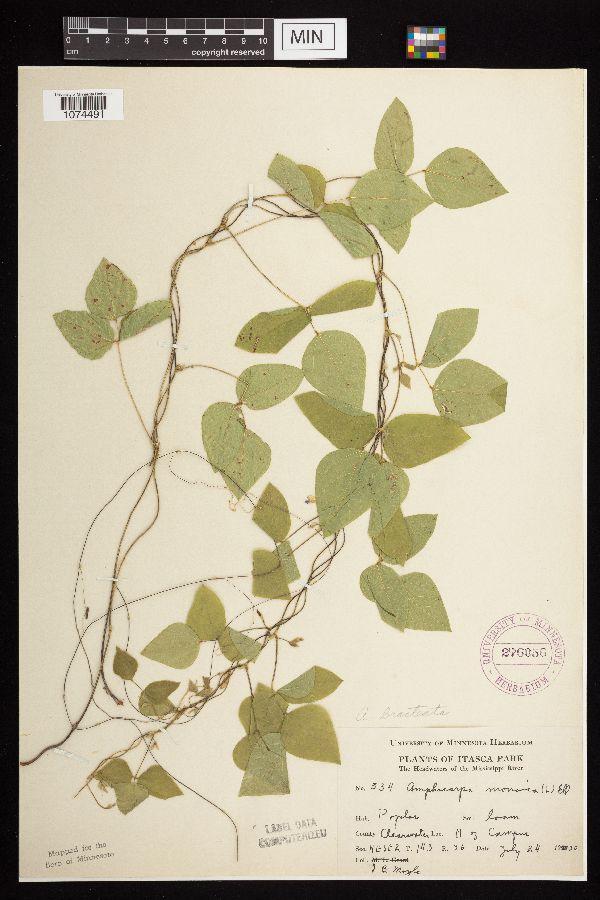 Amphicarpaea image