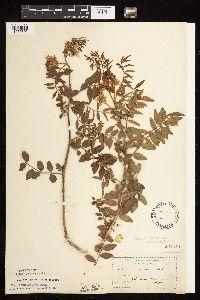 Glycyrrhiza lepidota image