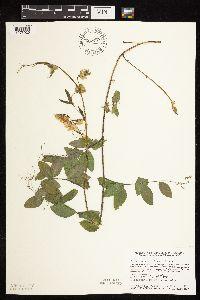 Image of Lathyrus ochroleucus