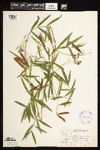 Image of Lathyrus palustris