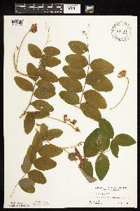 Image of Lathyrus venosus