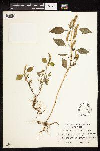 Image of Elsholtzia ciliata