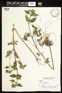 Image of Galeopsis tetrahit