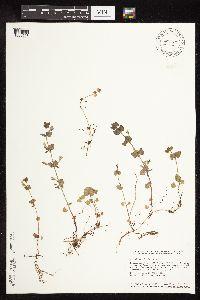 Image of Glechoma hederacea
