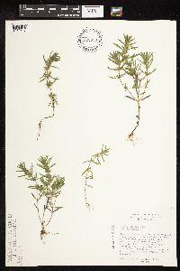 Hedeoma hispida image