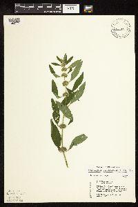 Chaiturus marrubiastrum image