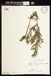 Image of Lycopus americanus