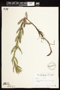 Lycopus asper image