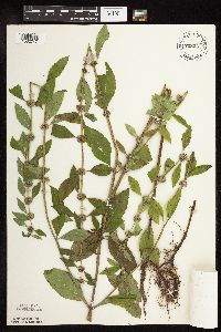 Image of Mentha arvensis