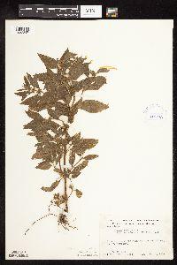 Mentha arvensis image