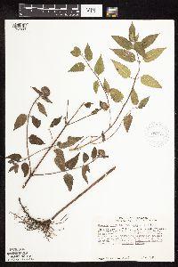 Monarda fistulosa var. fistulosa image