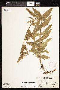 Stachys pilosa var. pilosa image