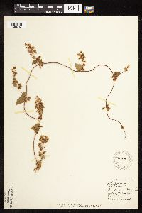 Image of Fallopia scandens