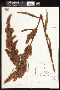 Rumex pseudonatronatus image