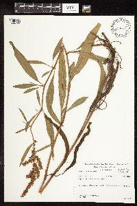 Rumex triangulivalvis image