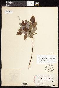 Image of Salix x beschelii