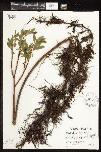 Image of Salix maccalliana