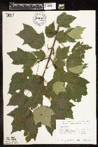 Image of Acer rubrum