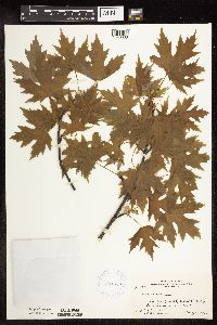 Image of Acer saccharinum