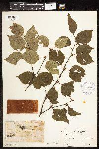 Image of Betula papyrifera