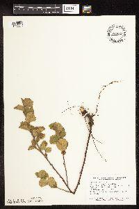 Image of Betula pumila