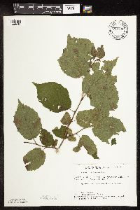 Image of Corylus americana