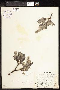 Salix barrattiana image
