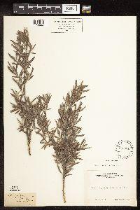 Salix sessilifolia image