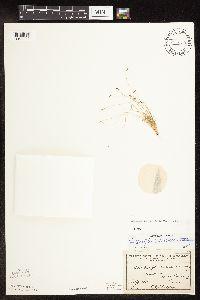 Image of Bulbostylis capillaris