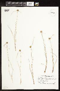 Image of Cyperus lupulinus