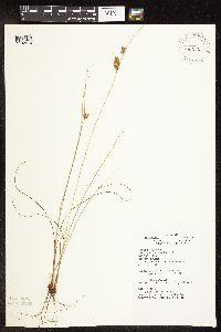 Image of Cyperus schweinitzii