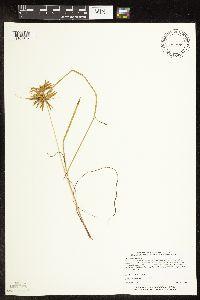 Image of Cyperus strigosus