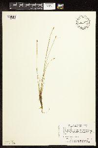Image of Eleocharis palustris