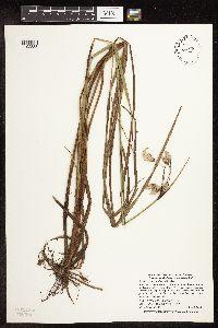 Image of Eriophorum angustifolium