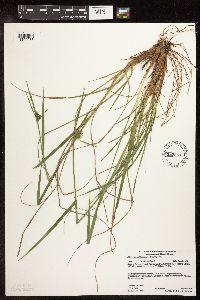 Image of Eriophorum viridicarinatum