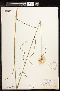 Image of Eriophorum virginicum