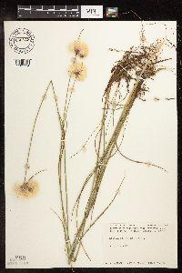 Eriophorum virginicum image