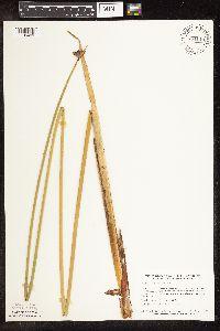Schoenoplectus acutus image