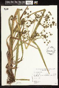 Scirpus microcarpus image