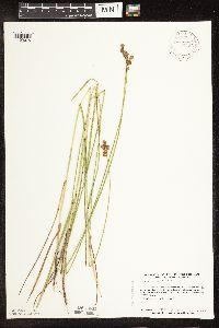 Image of Carex bicknellii
