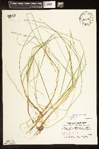 Image of Carex canescens