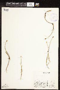 Image of Carex chordorrhiza