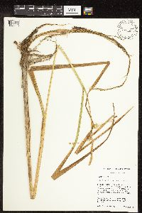 Image of Carex comosa
