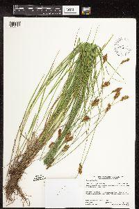 Image of Carex crawfordii