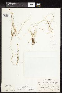 Image of Carex gynocrates