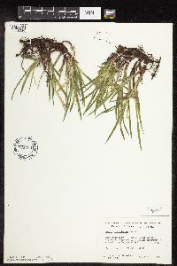 Carex hirtifolia image