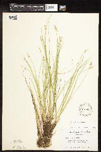 Carex interior image