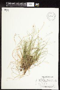 Image of Carex leptalea