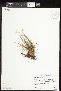Carex obtusata image